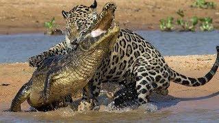 Quand les Animaux se battent entre Eux