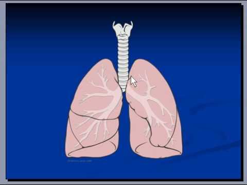 Lungs, Macroscopic Anatomy, Pneumonia - YouTube