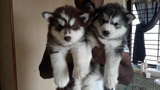 White German Shepherd Puppies For Sale In Bangalore Ssmatters