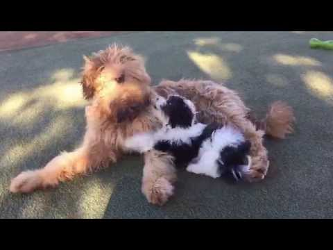 Obelix the Briard and Macy the Coton-Poodle