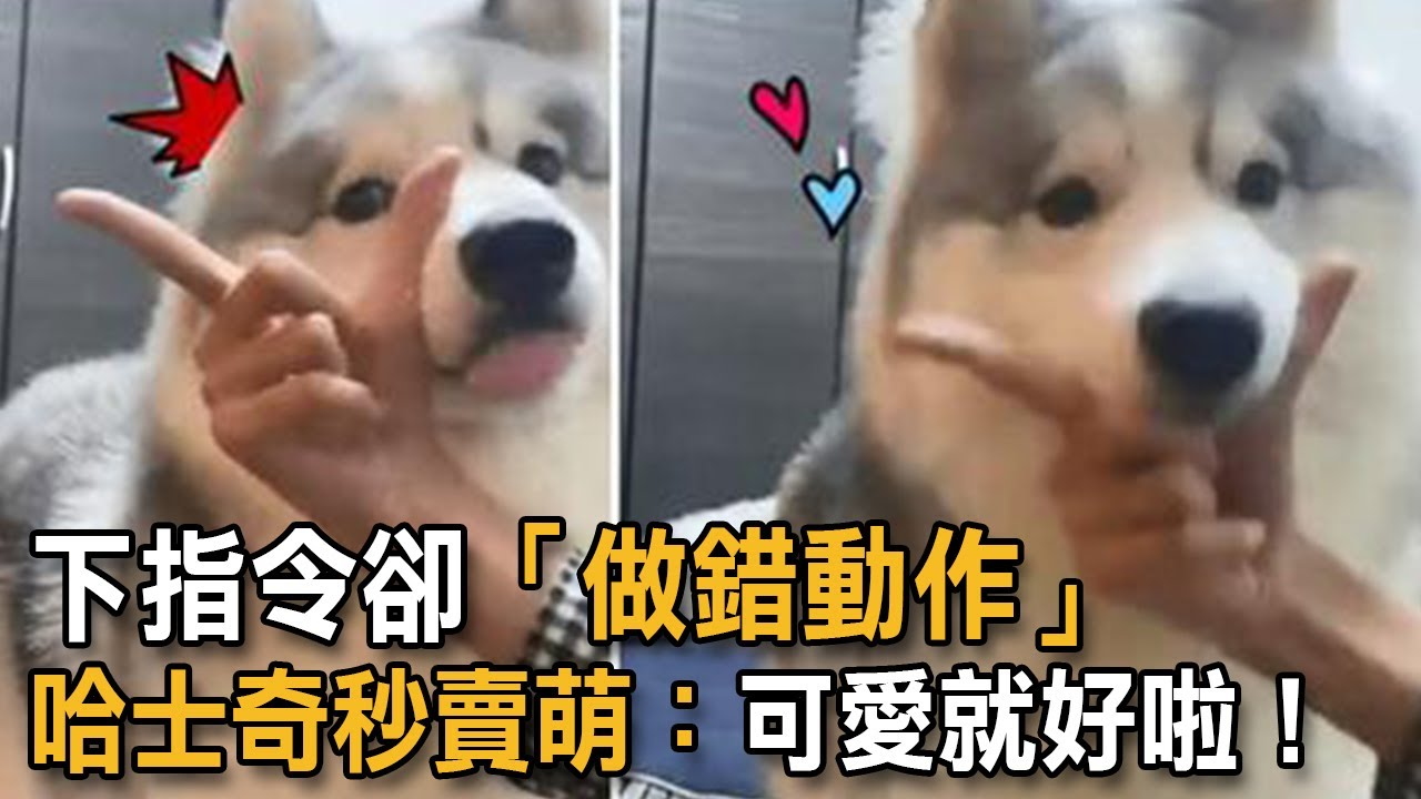 下指令卻「做錯動作」 哈士奇秒賣萌:可愛就好啦! 狗狗搞笑 哈士奇