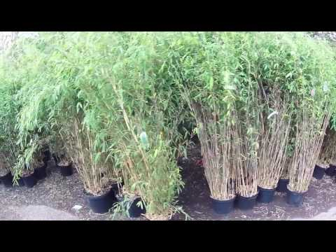 Clump Forming Fargesia Bamboo Big Plant Nursery in West Sussex, UK