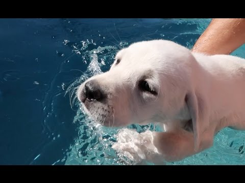 Labrador Gets Swimming Lessons