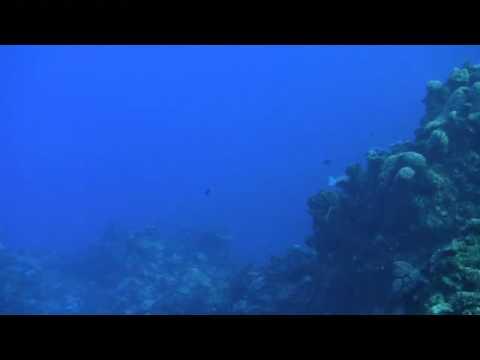 Bumphead Parrotfish Clash Heads