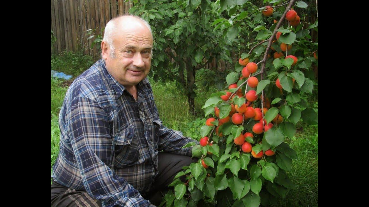 Картинки по запросу абрикосы в саду