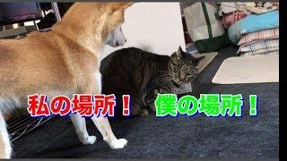 ストーブの季節。柴犬と猫の争奪戦が始まりました -- Shiba and cat like the heater.--