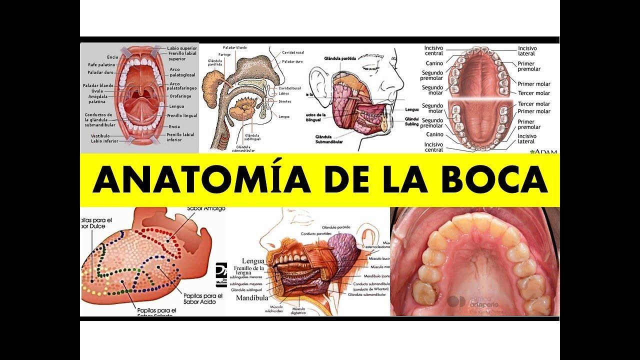 ANATOMÍA DE LA BOCA\
