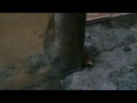 merdunya suara Jangkrik pengusir tikus liar Di Dalam Rumah