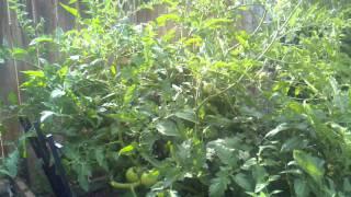 Growing tomatoes in northern Utah.3gp