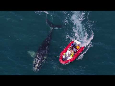 The North Atlantic Right Whale (30 seconds)