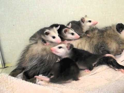 Opossum Babies with Mother