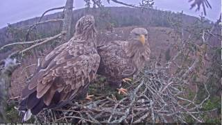 2016/12/17 15h56m  Male cut a spurce twig brought it to the nest