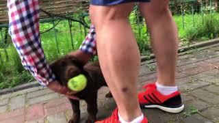 Тест щенка Английского Кокер Спаниеля.  БИБОП 60 дней