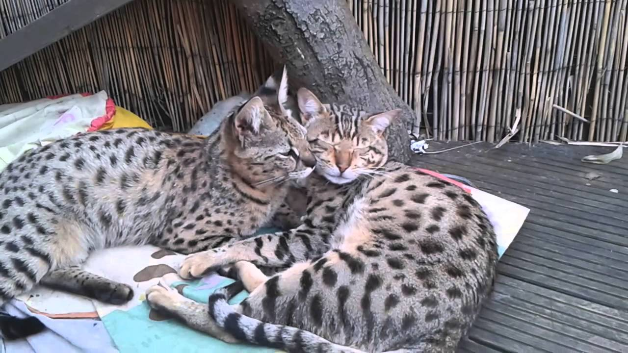 F1 Savannah Cat Omar And Spellbound Youtube