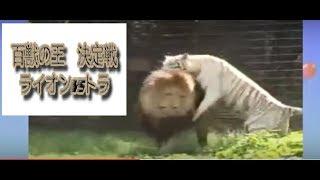 百獣の王決定戦!!かもしれない(笑) チャンネル登録 https://www.you...