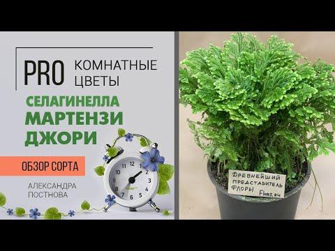 Селагинелла - интересное почвопокровное растение. Давайте знакомиться.