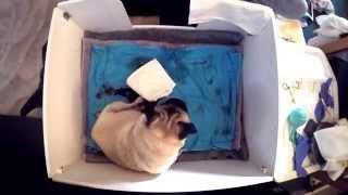 Pug Giving Birth Story | 4 Hour Time Lapse | Kennel Club Breeder | Gopro | Sweetpea Pugs | Steelcity