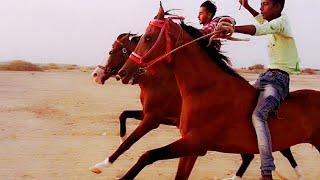 Kutch best horse rece in mandvi : કચ્છ ના સિંહ ઘોડા વીર. મોતી. કોઈ નૂર.કી રેસ