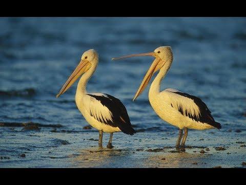 Pelican Bird - Outback Pelicans (Nat Geo)