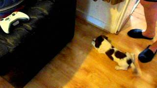 11 Week Old English Springer Spaniel Playing With Cat