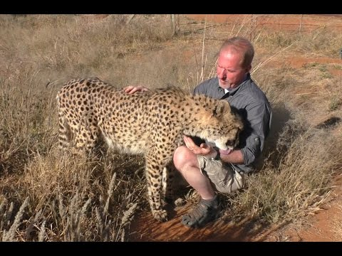Butt Scratch Reflex Responses From BIG & small Cats | Lions Leopards Cheetahs Servals Caracals