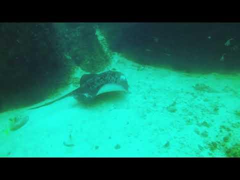 Round Ribbontail Ray - Aquarium, Dimaniyat Islands, Oman Diving