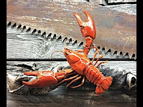How To Taxidermy Crawfish At Home  Crayfish Crab Fish Hack