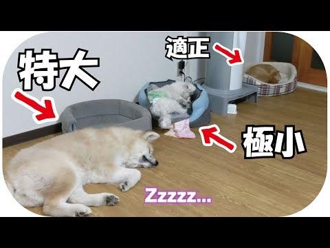 子犬ながら秋田犬らんぷの貫禄のまえにちゅーぶくん轟沈!!