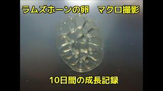 ラムズホーンの卵 最初は透明なゼリー状ですがラムズの稚貝が確認できる...