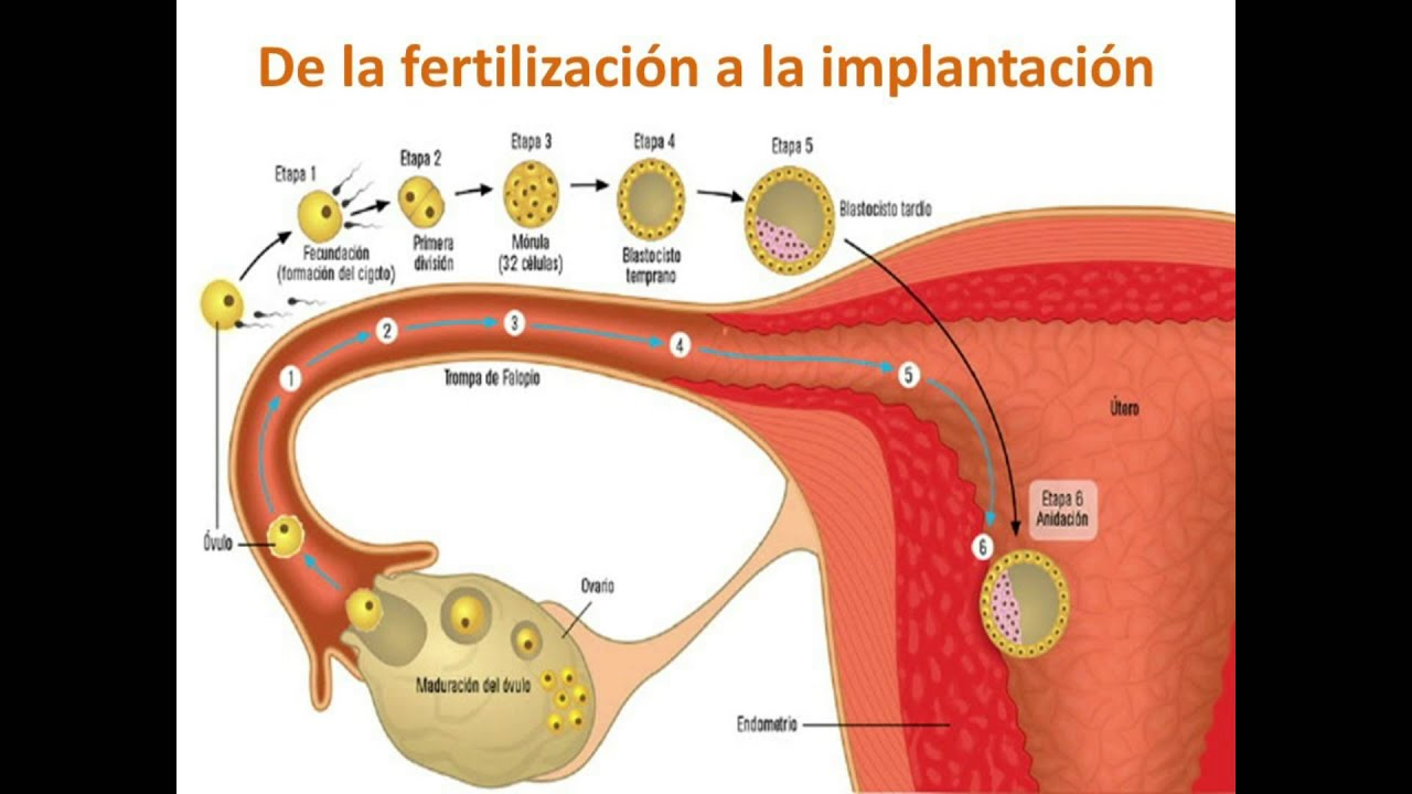 video del sistema reproductor masculino y femenino - YouTube