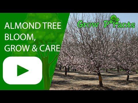 Almond tree - bloom, growing & caring