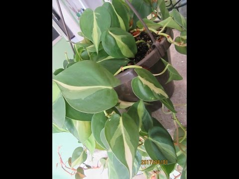 Heart Leaf Philodendrons