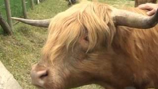Reportage ALSATIC TV - Elevage Highlands Cattle de la Basse du Las