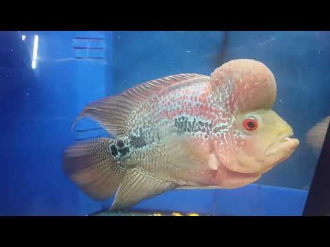 Kangen fish Aquatics Fish stocks 05.01.18