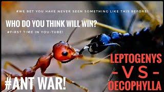 ANT WAR:  LEPTOGENYS  - VS - OECOPHYLLA