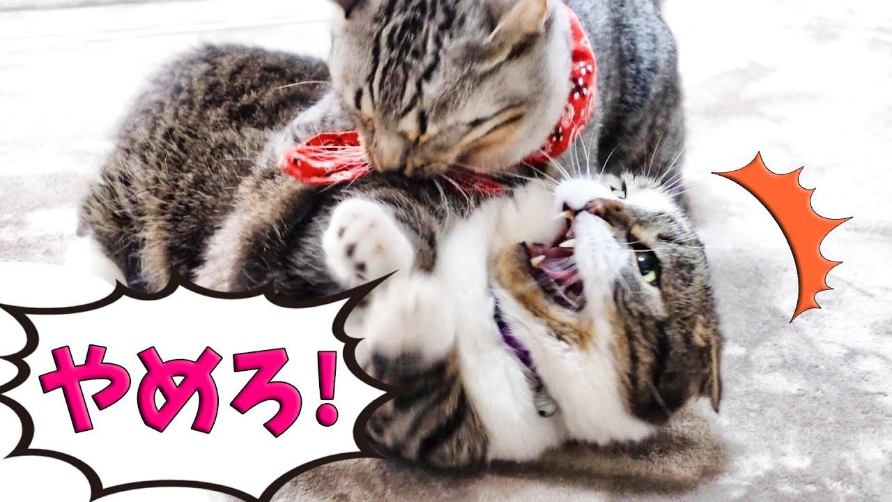 猫たちのこれは、ケンカじゃなくてフィジカルトレーニングです!