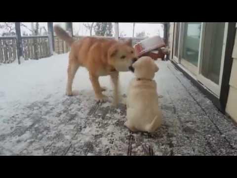 [6] 아기 진돗개의 위엄 /  Regal baby dog