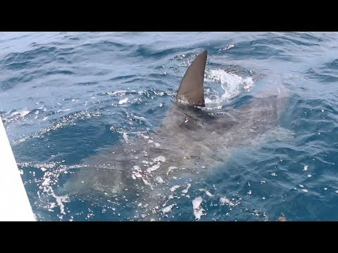 This is WHY People FEAR Sharks... (Commercial Kingfish Fishing)