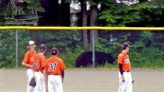 Bear wants into a baseball game in Juneau Alaska