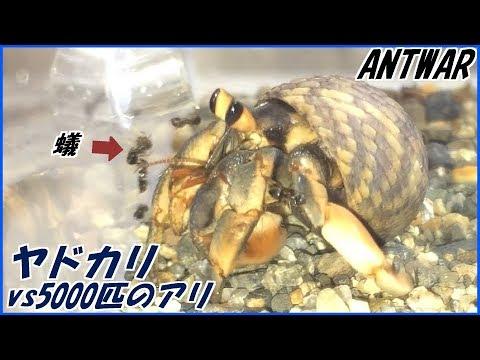 蟻戦争Ⅲ#72 ヤドカリvs5000匹のケアリ ~開閉式の移動シェルター~編~5000 ants vs Hermit crab~
