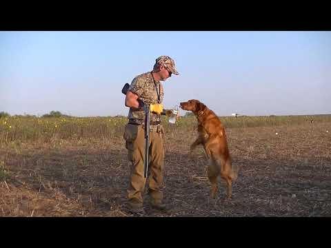 Texas Dove Hunting And Retriever Work At Www.texasdove.net 2017