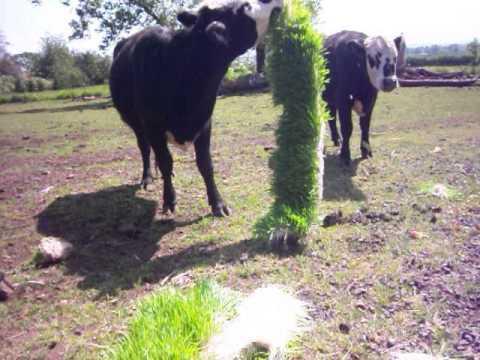 Feeding cows SPROUTS on Organic Farm Sanctuary in Oregon!