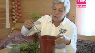 Советы тети Тани. Высаживаем черенки смородины