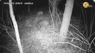 Dziki w karmniku dla zwierząt w lesie na Podkarpaciu