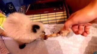 Котенок маскарадной кошки