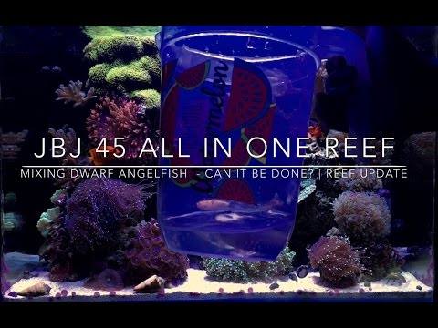 Mixing Dwarf Angelfish In One Tank - Can It Be Done? | Reef Update