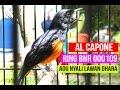 Suara Burung Adu Nyali Al Capone Murai Ring Bnr Dikeroyok Ohara Dan Ms Di Jayakarta Cup  Mp3 - Mp4 Download