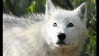 Video White Wolves download MP3, 3GP, MP4, WEBM, AVI, FLV November 2017