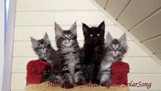 Котята Мейн Кун, 1 месяц и 3 недели.