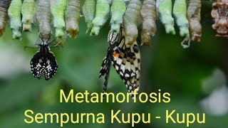 Video Metamorfosis Kupu-kupu (video zoom X50) download MP3, 3GP, MP4, WEBM, AVI, FLV Oktober 2019